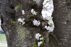 Cherry blossoms on tree trunk. In kakunodate, Japan royalty free stock images