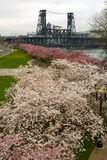 Cherry Blossoms Trees along Portland Waterfront Royalty Free Stock Photos