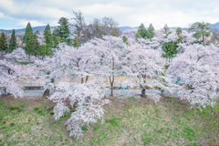 Cherry blossoms trees around Tsuruga Castle Royalty Free Stock Images