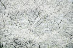 Cherry Blossoms Trees blanc Photos stock