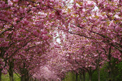 Cherry blossoms. On cherry trees, early spring in Berlin stock images