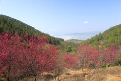 Cherry blossoms trees in zaoshui village, amoy city, china Royalty Free Stock Image
