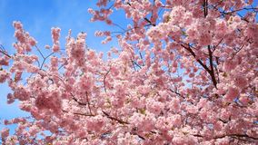 Cherry blossoms treetop with blue sky stock footage