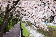 Cherry blossoms tunnel. In japan Royalty Free Stock Photography