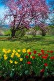 Cherry Blossoms u. Tulpen stockfoto