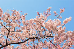 Cherry Blossoms at Ueno Park. Cherry Blossoms with clear blue sky at Ueno Park, Tokyo, Japan stock image