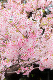 Cherry Blossoms at Ueno Park royalty free stock photos