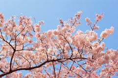 Cherry Blossoms at Ueno Park. Cherry Blossoms with clear blue sky at Ueno Park, Tokyo, Japan stock photos