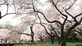 Cherry blossoms in Ueno Park in Tokyo, Japan. Viewing cherry blossom is a Japanese custom. Ueno Park was Japan`s first. Public park, opened in 1873 stock video footage