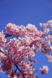 Cherry Blossoms und blauer Himmel Lizenzfreie Stockfotos