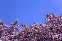 Cherry Blossoms und blauer Himmel Stockfotografie