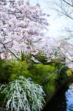 Cherry Blossoms und Spiraea auf Philosoph ` s gehen, oder Tetsugaku-kein-Michi, Kyoto, Japan Stockfotografie