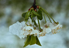 Cherry blossoms under snow Stock Images