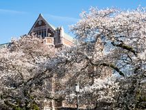 Cherry blossoms at university campus in Seattle stock photography