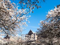 Cherry blossoms at university campus in Seattle royalty free stock image