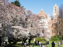 Cherry blossoms at university campus in Seattle royalty free stock images