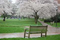 Cherry Blossoms in University of Washington Lizenzfreie Stockfotos