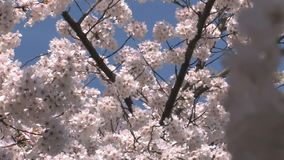 Cherry blossoms up close focus shift. Video of cherry blossoms up close focus shift stock footage