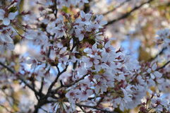 Cherry blossoms. Up close photo of some beautiful Cherry Blossoms Royalty Free Stock Photo