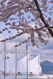 Cherry Blossoms at Vancouver Port terminal.Canada Stock Images