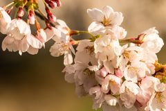 Cherry blossoms early on a sprintime morning royalty free stock photo