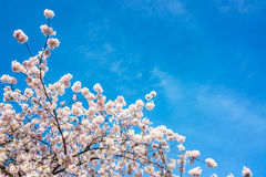 Cherry Blossoms View Stock Photography