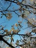 Cherry Blossoms von unterhalb Lizenzfreies Stockbild