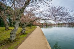 Cherry blossoms and walkway along the Tidal Basin, in Washington, DC stock photos