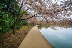 Cherry blossoms and walkway along the Tidal Basin, in Washington, DC royalty free stock photos