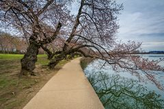Cherry blossoms and walkway along the Tidal Basin, in Washington, DC stock photography