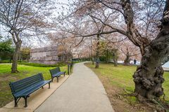 Cherry blossoms and a walkway in Washington, DC royalty free stock photography
