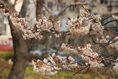 Cherry blossoms(Cerasus sp.). The cherry blossoms are warm, pure and noble. Being respected as a Japanese national flower Stock Image