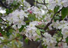 Cherry Blossoms on a warm summer day stock photography