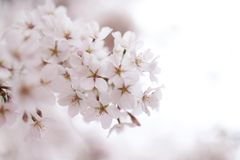 Cherry blossoms in Washington, D.C. royalty free stock photo