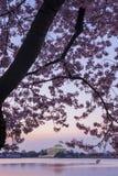 Cherry Blossoms, Washington D.C. Stock Images