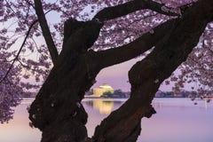 Cherry Blossoms, Washington D.C. Stock Photography
