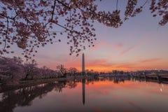 Cherry Blossoms, Washington D.C. Stock Photo