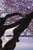 Cherry Blossoms, Washington D.C. Royalty Free Stock Image