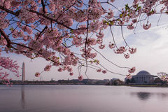 Cherry Blossoms, Washington D.C. Royalty Free Stock Photos