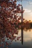 Cherry Blossoms, Washington D.C. Stock Image