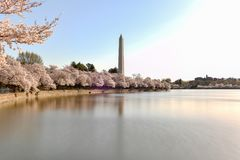 Cherry Blossoms - Washington, DC royaltyfri foto