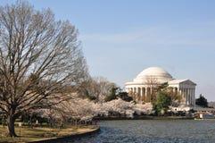Cherry Blossoms, Washington DC Royalty Free Stock Photo