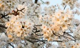 Cherry Blossoms in Washington DC Royalty Free Stock Photos