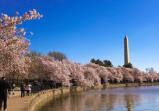 Cherry blossoms in Washington DC around tidal basin. Cherry blossoms festival in Washington DC and monuments in background stock photos