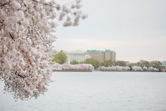 Cherry Blossoms Washington DC Stock Images