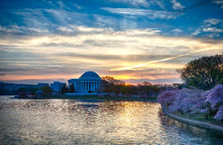 Cherry Blossoms in Washington DC Royalty Free Stock Photo