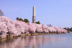 Cherry Blossoms Spring Washington DC Monument Royalty Free Stock Photos
