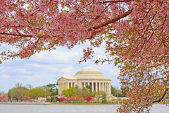 Cherry Blossoms at Washington DC Royalty Free Stock Images