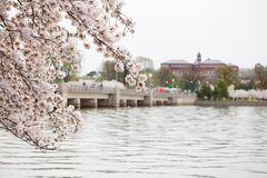 Cherry Blossoms Washington DC Sunrise Stock Photos