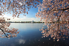 Cherry Blossoms Washington DC Sunrise Stock Images